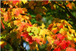 autumn-leaves-red